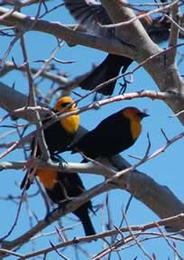 Yellow-headed blackbirds up close