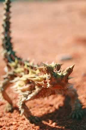 Spiny Devil near Uluru