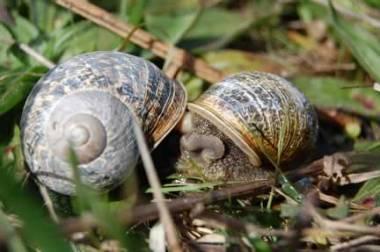 N CA snails