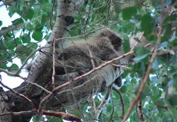 Porcupine visitor