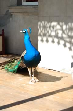 Two peacocks lived in residence.